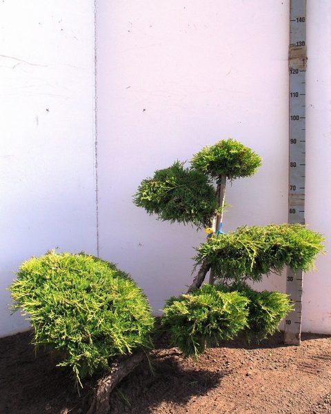 151 JupOGold Bonsai 80-100 K5. JB041042