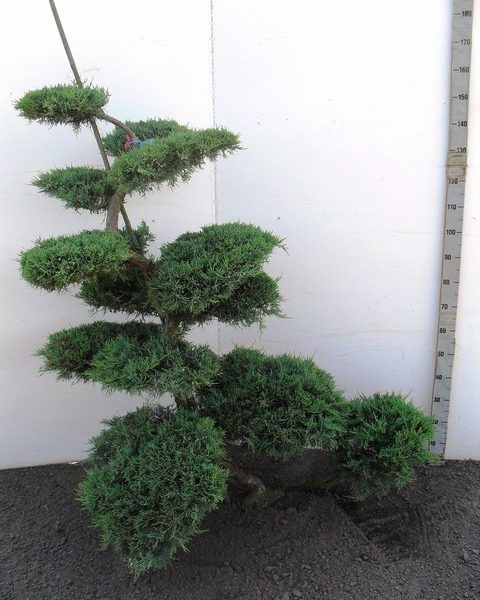 160 JuvGOwl Bonsai 150-175 K7. JB039381