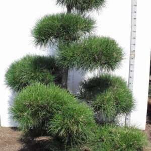 207 Pinnigra Bonsai 200-225 K8. JB043201