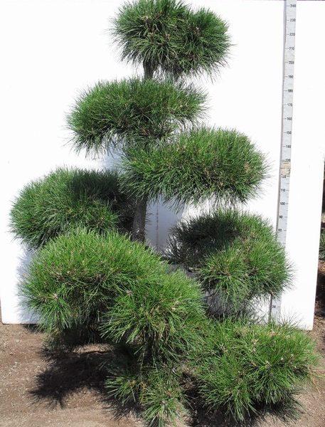 207 Pinnigra Bonsai 200-225 K8. JB043201