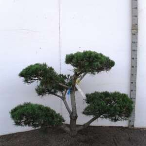 231 Pisylves Bonsai 80-100 K6. JB043402