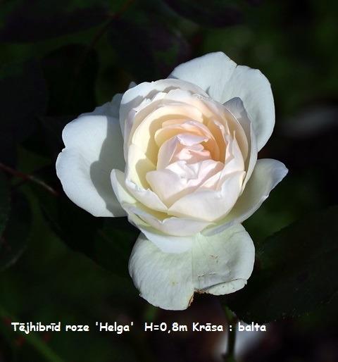 Helga_(rose)[1]
