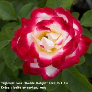 Hybrid_tea_double_delight[1]