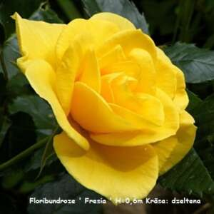 freesia_rose_by_ratabago[1]