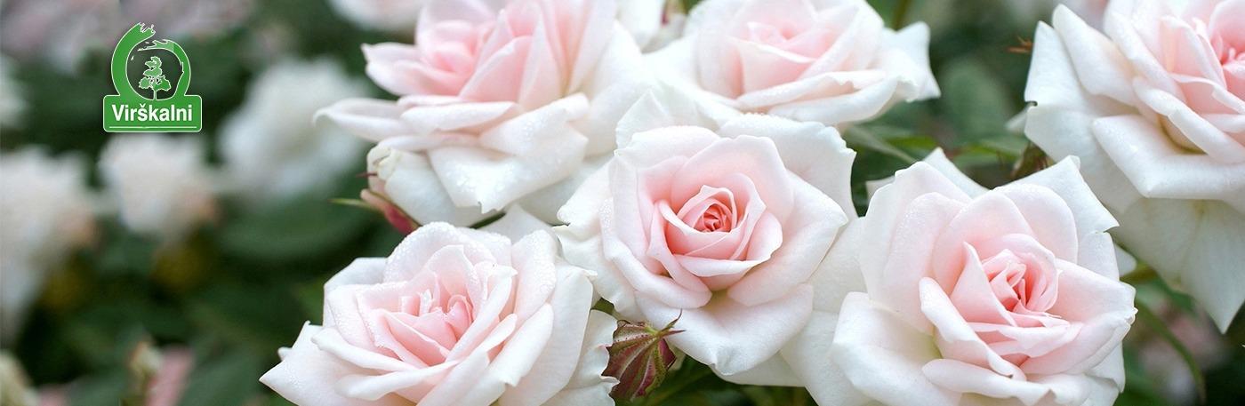 Liela rožu izvēle