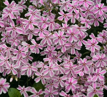 Candy Stripe creeping phlox (Phlox subulata 'Candy Stripe')