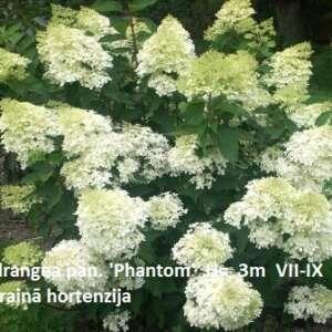 Skarainā hortenzija Hydrangea pan. 'Phantom' H- 1m