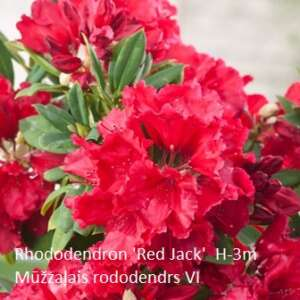 Rhododendron-Red-Jack[1] (1)