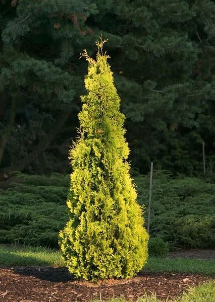 Thuja occ.Yellow Ribbon2