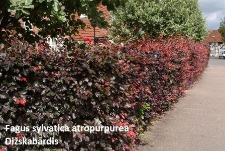 fagus-sylvatica-atropurpurea-group-175-200cm-[2]-355-p[1]