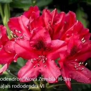 rhododendron-nova-zembla-3[1]