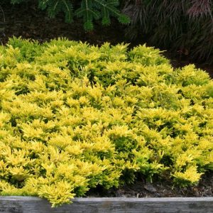 Juniperus horizontalis 'Golden Carpet'