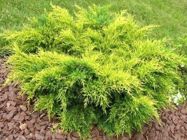 Juniperus med. 'Gold Star'