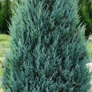 Juniperus scop. 'Moonglow'