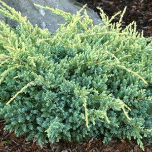 Juniperus squa. 'Holger'