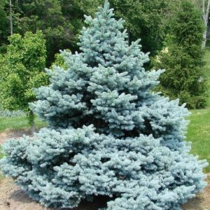 Picea pungens 'Montgomery'