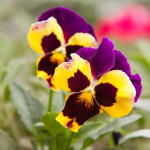 Viengadīgās puķes
