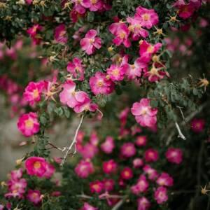 Klajeniskās rozes