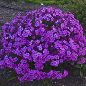 Daudzgadīgās puķes