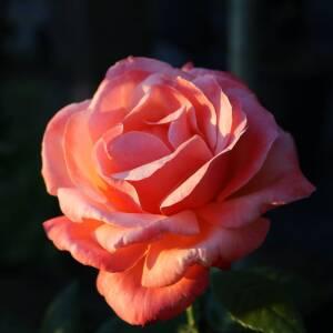 Tējhibrīdu rozes