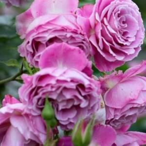 Krūmu rozes