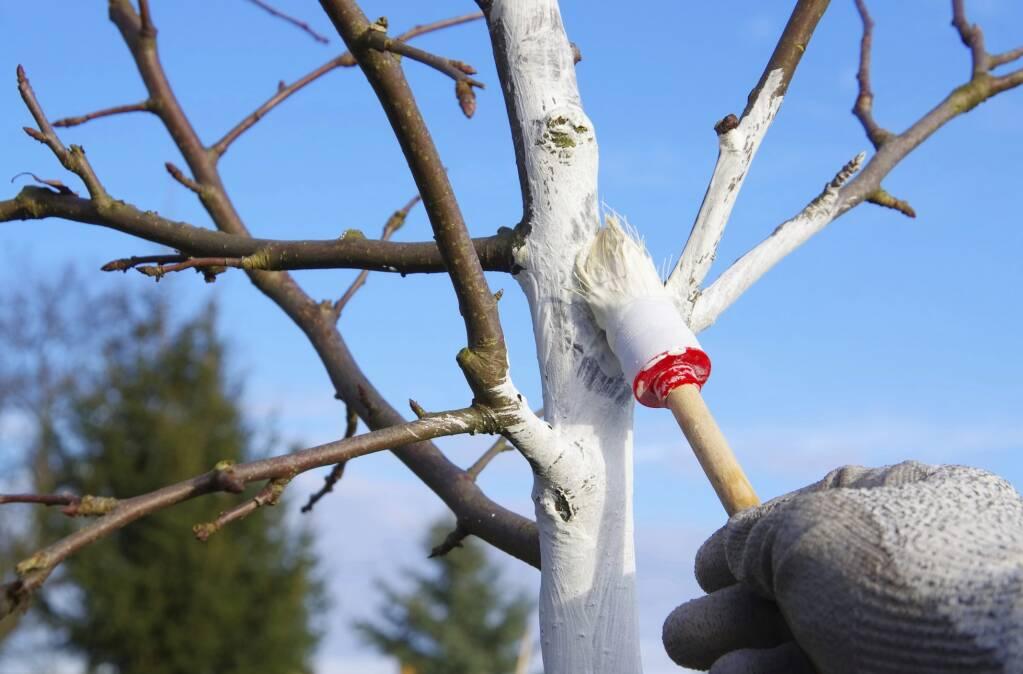 Augļu koku kaļķošana