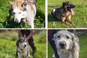 """Dzīvnieku patversme """"Mežavairogi"""" iepazīstina ar 6 suņiem, kuri patversmē aizkavējušies jau ilgu laiku"""